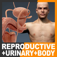 Human Male Body and Urinary and Reproductive System Textured - Anatomy