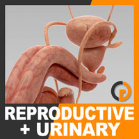 3d human urinary reproductive organs