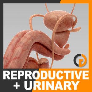 3d human urinary reproductive organs