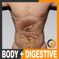 Human Male Body and Digestive System - Anatomy