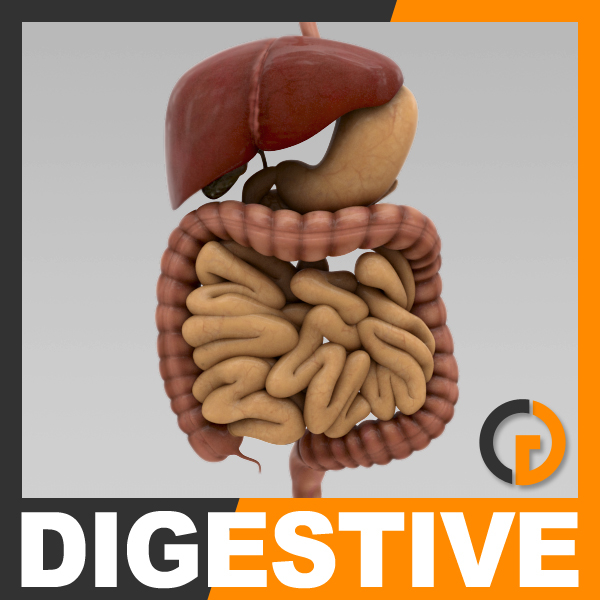 3d model of human digestive - organ anatomy