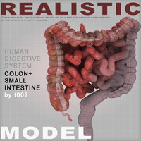 Highly Detailed Colon and Small Intestine