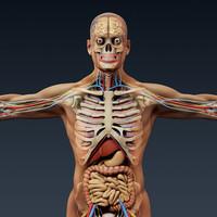 human male anatomy - 3d model