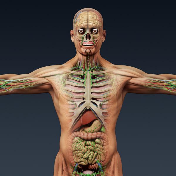 3d human male anatomy - model