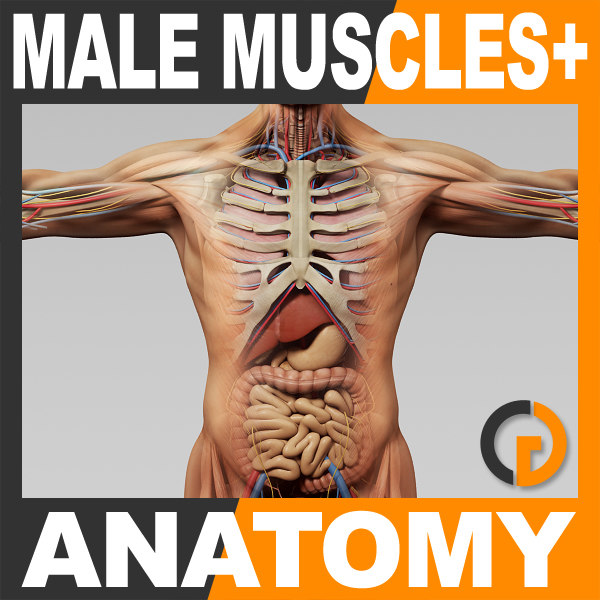3d model human male anatomy -