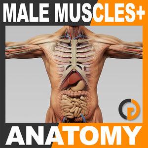 3d model human male anatomy -