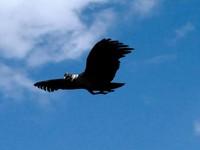 Condor Andes