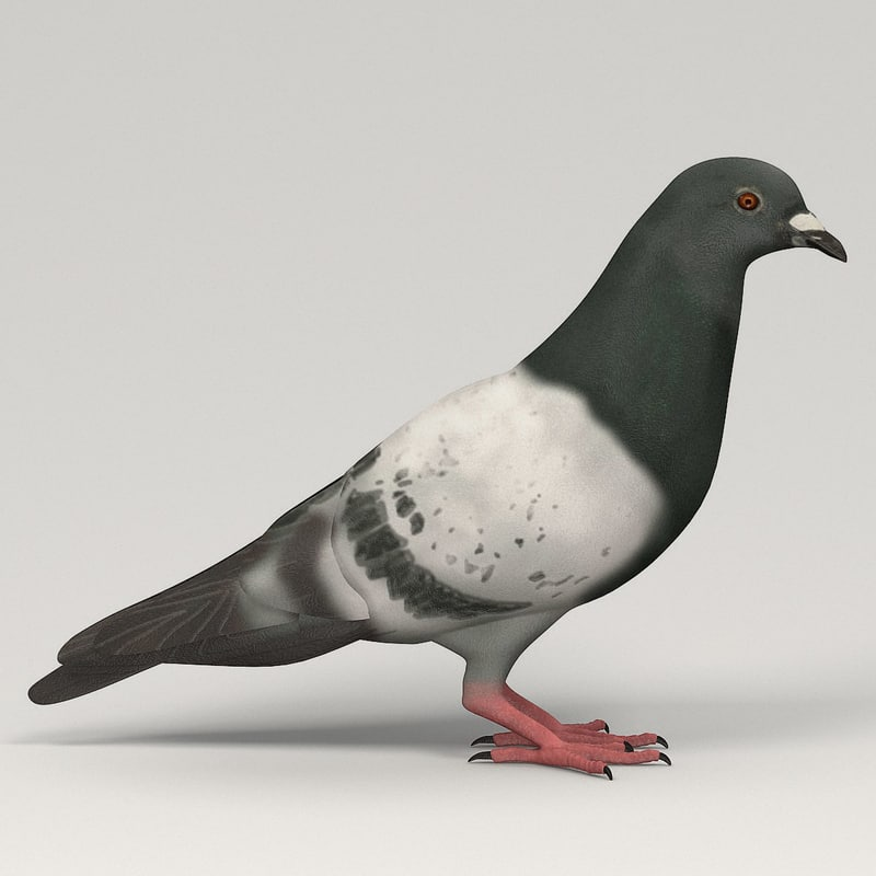3d pigeon columba livia model