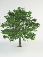 "oak ""quercus robur"