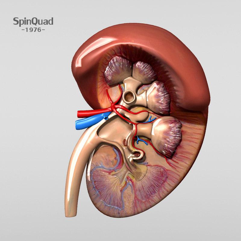 human kidney 3d lwo