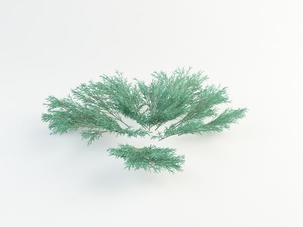 max juniperus sabina