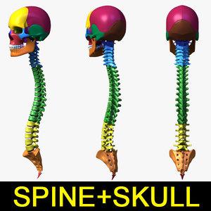 3d human vertebra skull separated