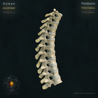 max vertebral column thoracic vertebra