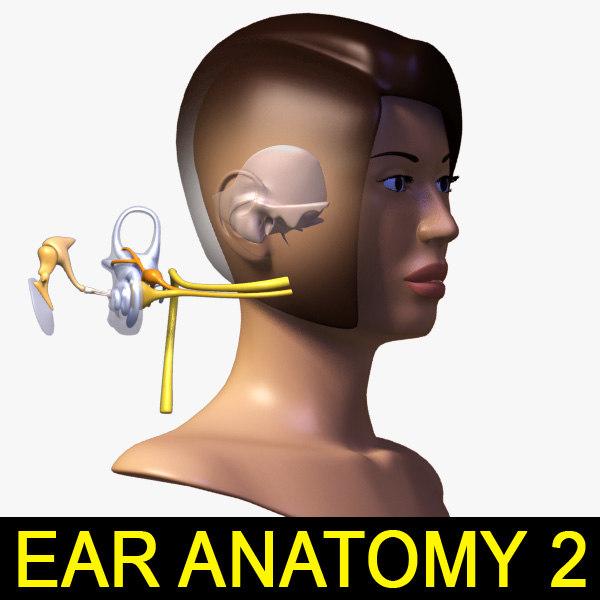 ear anatomy female head 3d max
