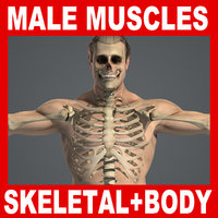 Male Skeletal System & Body Anatomy V04 (Textured)