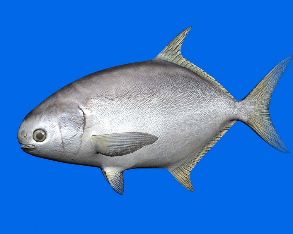 pompano fish 3d 3ds