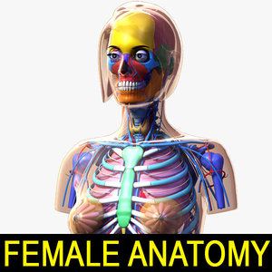 3d model female anatomy 2