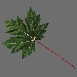 3d maple leaf model