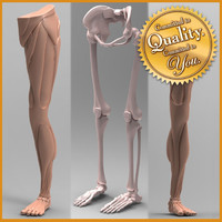 human leg anatomy combo 3d model