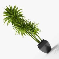 Dracaena Pot plant