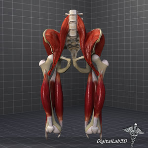 3d human pelvis muscle group
