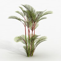 Plant Red Palm