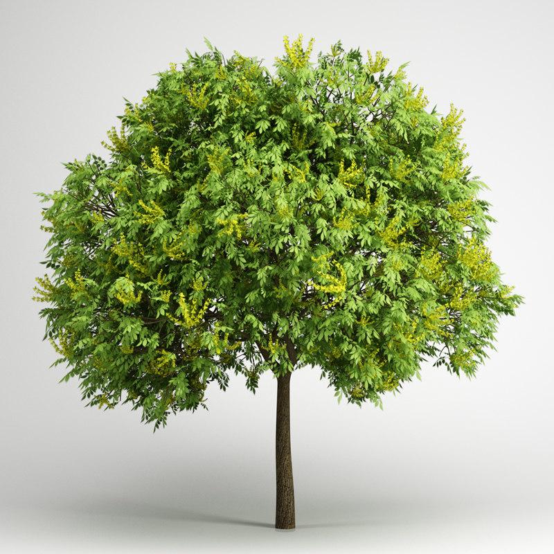 goldenrain tree 08 3d c4d