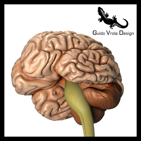 3d model accurate human brain