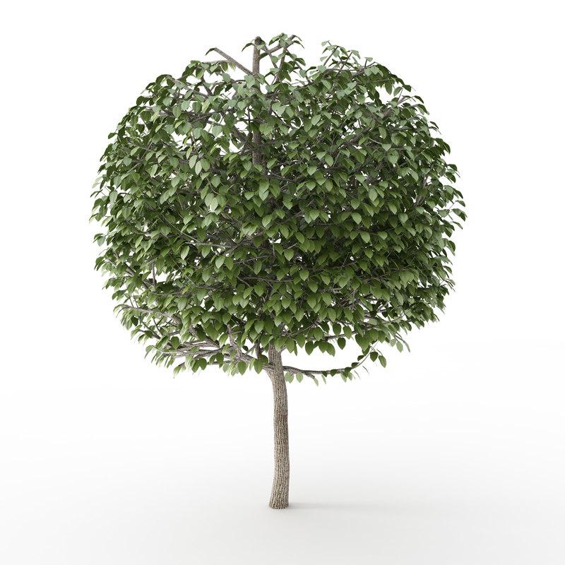 3d model street tree trimmed