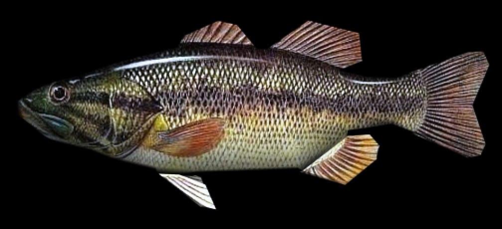 3d model bass