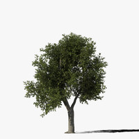 Oak Tree Type5