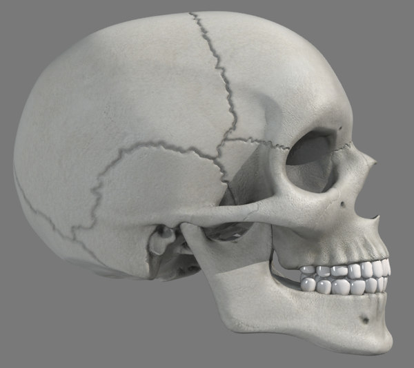 anatomically skull max