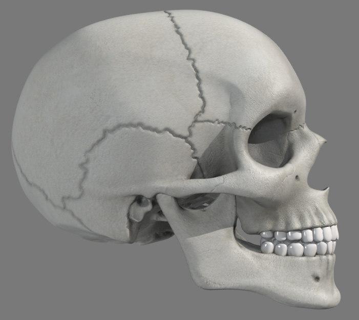 anatomically skull max