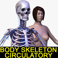 3d human female body circulatory model