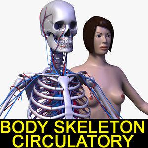 3d human female body circulatory model