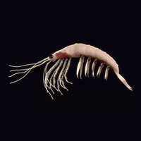 nothern krill shrimp