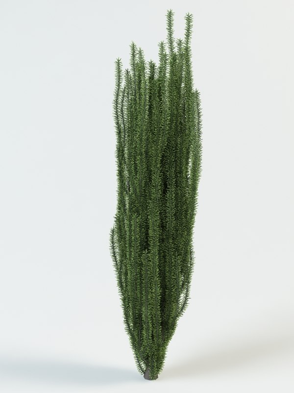 3d yew taxus baccata model