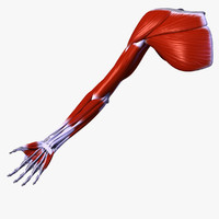 3d model of musculature upper extremity