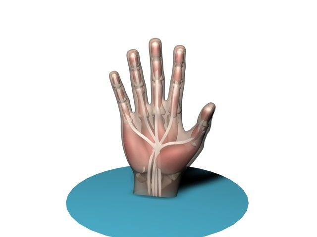3d model hand anatomy