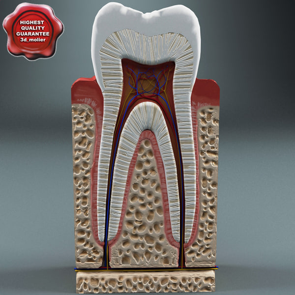 tooth anatomy 3d max