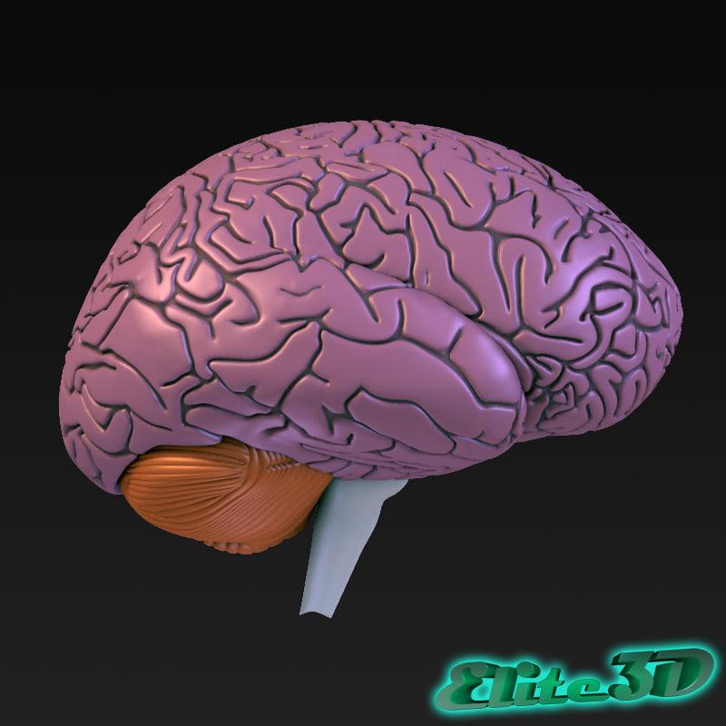 anatomically human brain 3d max
