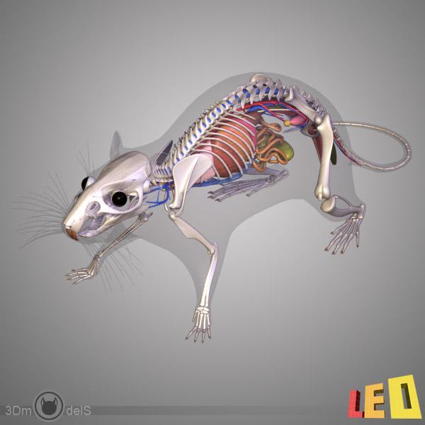 Dieu est-il un bon designer ? - Page 5 Rat_anatomy_leo3dmodels_02.jpgce4a3633-fb18-4f59-904c-af3caa533f1eDefaultHQ