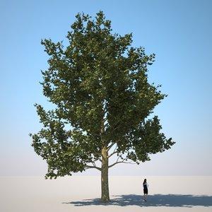 plane tree 2 - max
