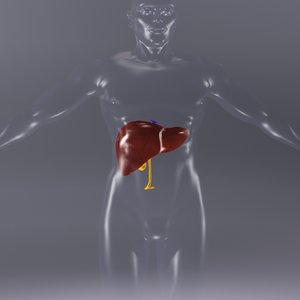 liver human x-ray 3d model