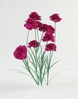 dianthus plumarius heidi max