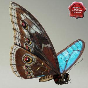 maya blue morpho butterfly