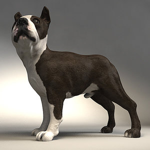 3d model boston terrier dog