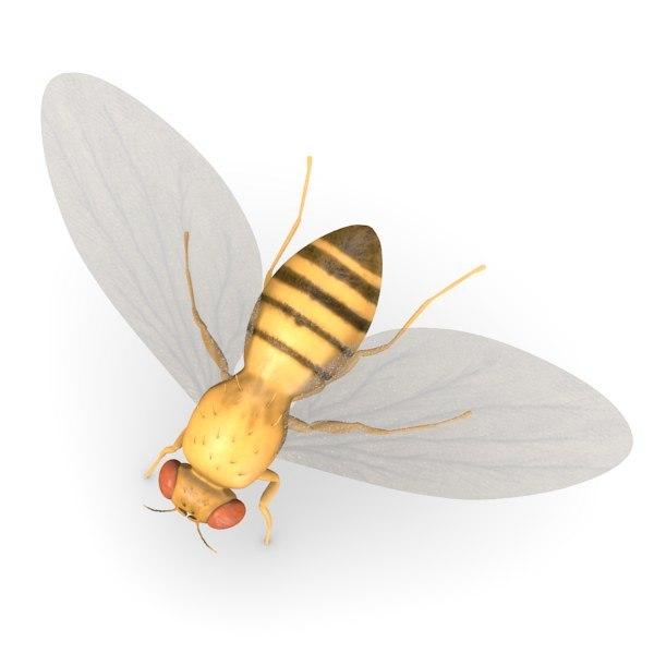 3ds max drosophila melanogaster