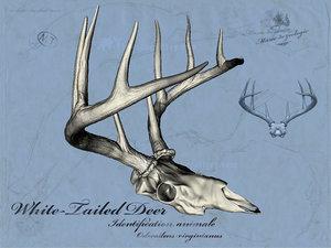 maya white tailed deer