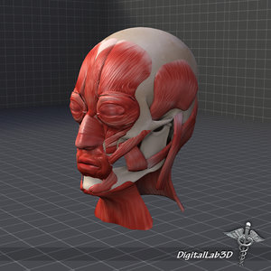 human facial muscle structure max